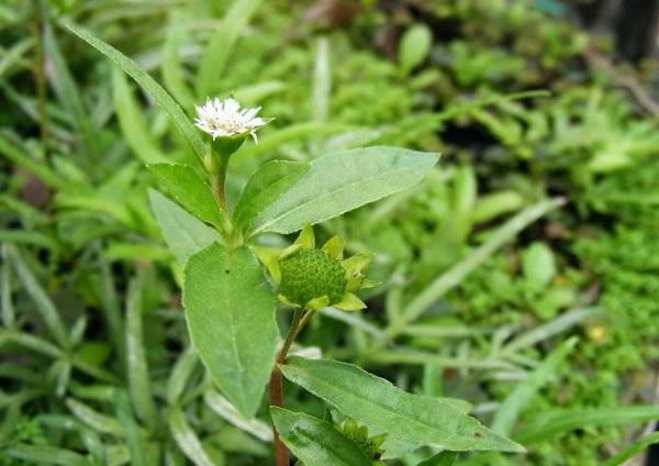 Cỏ nhọ nồi chữa Xơ gan – Sự kì diệu của cây cỏ quanh ta