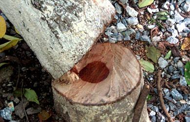 Ðại kinh Thí dụ Lõi cây: Trung Bộ Kinh