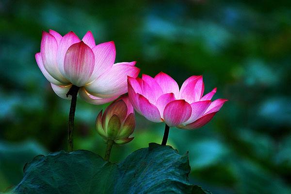 Nguyện sanh thì được vãng sanh - Hoa nở thấy Phật chứng pháp vô sinh